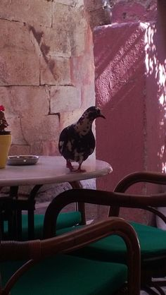 Cretan pigeon.