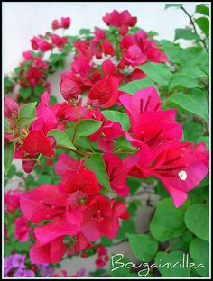 How to Grow Bougainvillea in Pots