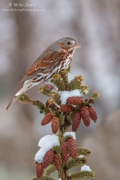 Fox sparrow on pines