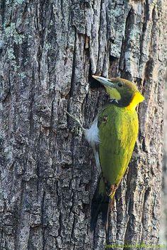 Greater Yellownape Woodpecker / Picus flavinucha / นกหัวขวานใหญ่หงอนเหลือง | Flickr - Photo Sharing!