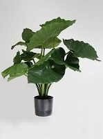 Alocasia Calidora Potted Bush x5 w/14lvs