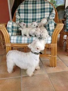 <3 westies - Mom checking on the kids.