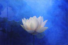 White Lotus Flower Surreal Series -