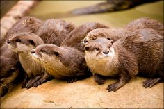 Otters galore
