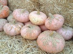 Heirloom pumpkin variety: Crystal Star. Just bought my first one today!!