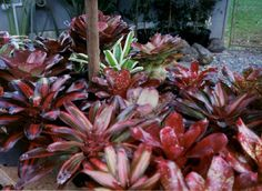 Garden Bromeliads Succulents on Pinterest Succulents