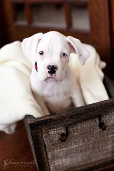Beautiful White Boxer Dog re-posted by http://www.dailyboxer.com #WhiteBoxerDog ---- Love Your Boxer?? Visit our website now!