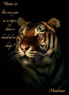 tiger quotes   Tiger Quote Graphics Code   Tiger Quote Comments & Pictures
