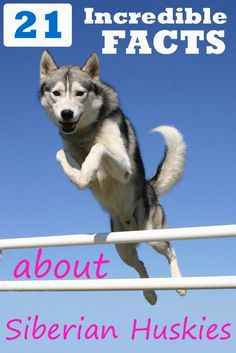 There's a lot more to this breed of dog than it's incredible appearance. Did you know the Siberian Husky has an ability to escape that would put Houdini to shame? Here are 21 interesting facts for you to savor! Siberian Husky Facts, Siberian Husky Puppies, Siberian Huskies, Mini Huskies, White Siberian Husky, My Husky, Husky Puppy, Wolf Husky, Black Lab Puppies