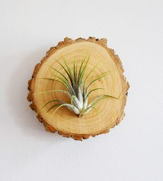 Wood-Mounted Air Plant