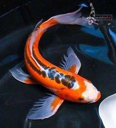 7 5 taisho sanke butterfly fin live koi fish pond garden for Baby butterfly koi