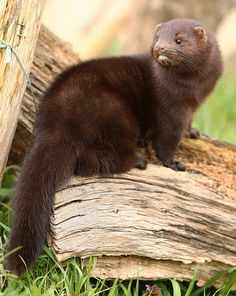 Did you know: Unfortunately, these cute critters are endangered. The European mink (Mustela lutreola) is one of Europe's most endangered mammals. It is a medium sized mustelidwith a long, slender, arched body, short legs and a short bushy tail. Mink Animal, Especie Animal, Nature Animals, Animals And Pets, Cute Animals, Beautiful Creatures, Animals Beautiful, Reptiles, Mammals