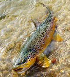 fly fishing tips trout Trout Fishing Tips, Fishing Knots, Gone Fishing, Best Fishing, Fishing Lures, Fishing Stuff, Fishing Tackle, Fly Fishing Basics, Fishing Photography