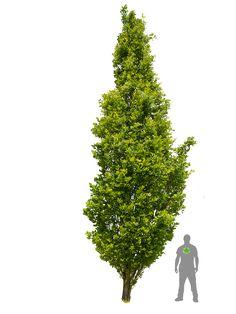 Säuleneiche - Quercus robur Fastigiata 'Koster' | ClickandGreen ...