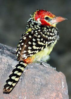 Red and Yellow Barbet Kenya