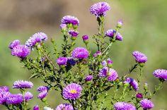 Сиреневое настроение создают осенние сиреневые цветы - мне нравится название - сентябринки