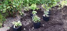 Vom Ziergarten zum Nutzgarten - Mein Beeren-Kräuter-Gemüsegarten - grüneliebe