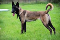 Belgian Malinois - Health, History, Appearance, Temperament & Maintenance