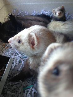 Ferret Photo bomb :3