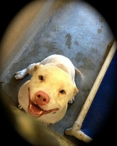 Lancaster, CA - A4603580, a male 2 y/o APBT Mix who came in as a stray 7/9 but NO ONE came for him. This happy and friendly fellow is OUT OF TIME and might die as soon as tomorrow morning!!!! https://www.facebook.com/photo.php?fbid=10151775004502318=a.10151770778532318.1073741853.733107317=1