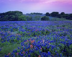 Bluebonnets, Hill Country, Texas