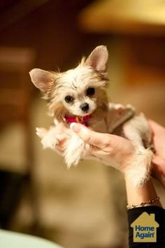 Chinese Crested Powder Puff Dogs Puppy Hounds Puppies Tea Cup Puppy Dogs TeaCup Puppies #TeaCupDogs #DogsInTeaCups