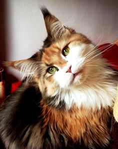 Maine Coon kitty