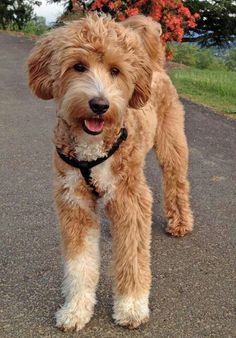 Labradoodle.  I need one. Its like a giant version of my two dogs.