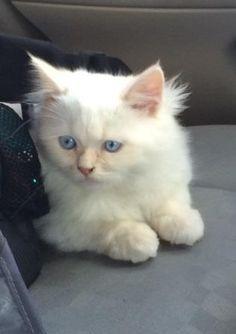 Butters – Ragdoll Kitten of the Month http://www.floppycats.com/butters-ragdoll-kitten-of-the-month.html