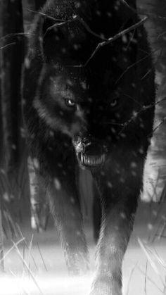 genlerine kadar tabiatta ya ayan kurt zor olmayan g n var m yd Wallpaper Lobos, Wolf Wallpaper, Storm Wallpaper, Beautiful Wolves, Animals Beautiful, Beautiful Smile, Beautiful Pictures, Angry Wolf, Wolf Spirit Animal