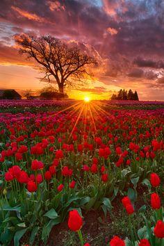 Sunset at Wooden Shoe tulip farm, Woodburn, Oregon