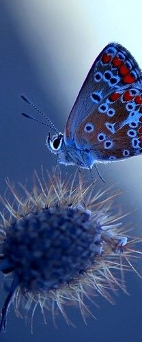 The Mission Blue is a blue or lycaenid butterfly subspecies native to the San Francisco Bay Area of the United States. The butterfly has been declared as endangered by the US Federal Government. It is a subspecies of Boisduval's Blue