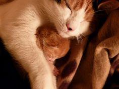 Mommy cat cuddles