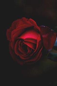 beautiful red rose ... pop of color