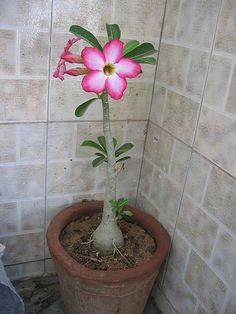 Pretty Potted Desert Rose. How to & indoor plant care. Indoor Garden & Plants