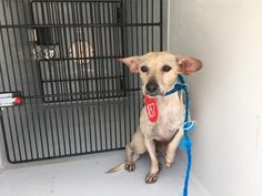 This DOG - ID#A465139 - URGENT - Harris County Animal Shelter in Houston, Texas - ADOPT OR FOSTER - Female Dachshund/Chihuahua mix - at the shelter since Aug 02, 2016.
