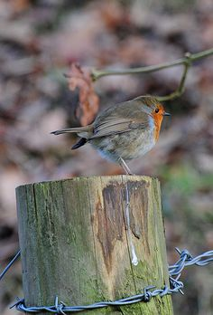 Robin, Erithacus rubecula, Castle Woods, Llandeilo, South Wales | Flickr - Photo Sharing! Steve Greaves