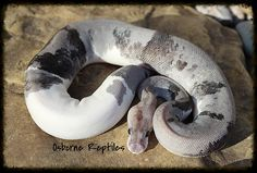 Urban Camo Super Pewter Het Pied Ball Python by Osborne Reptiles Pretty Snakes, Beautiful Snakes, Cute Reptiles, Reptiles And Amphibians, Reptile Show, All About Snakes, Snake Drawing, Ball Python Morphs, Cute Snake