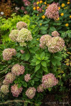 hydrangea paniculata 39 pinky winky 39 garden pinterest jardins automne et fleur. Black Bedroom Furniture Sets. Home Design Ideas