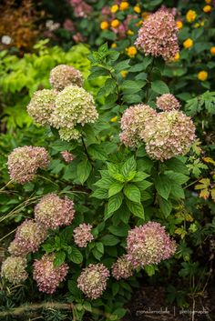 Little Lime Hydrangea | Hydrangea paniculata Little Lime late summer color