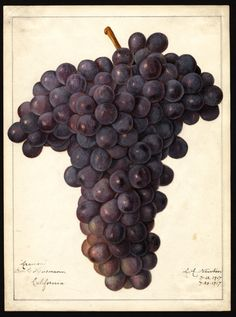 "Artist: Newton, Amanda Almira, ca. 1860-1943  Scientific name: Vitis  Common name: grapes  Variety: Aramon   ""U.S. Department of Agriculture Pomological Watercolor Collection. Rare and Special Collections, National Agricultural Library, Beltsville, MD 20705"""