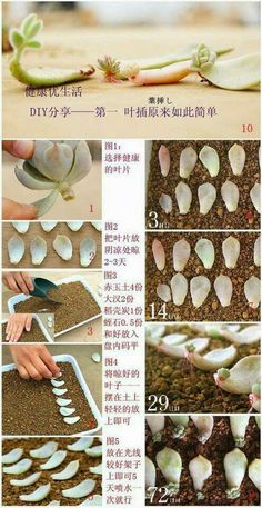 Como fazer brotos de suculentas