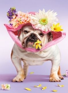 A Pretty Bulldog In Her Easter Bonnet. Where's The Parade? ... I'm ready! #Easter #Bulldog