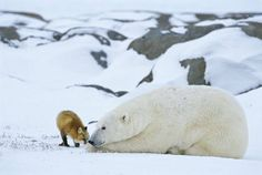 A red fox rubs noses with a polar bear on the Hudson Bay in Manitoba. Photo by Johansen Krause