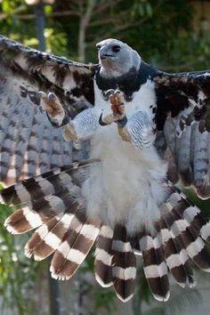 Foto: Harpia harpyja.. La arpía mayor, águila harpía o simplemente harpía (Harpia harpyja) es una especie de ave accipitriforme de la familia Accipitridae que vive en la zona neotropical. Es el águila más grande del Hemisferio Occidental y del Hemisferio Austral, y la única especie del género Harpia. Su hábitat es el bosque lluvioso. No se reconocen subespecies. El águila harpía es el ave nacional de Panamá y la especie símbolo de la diversidad biológica de Ecuador. Se le llama también…