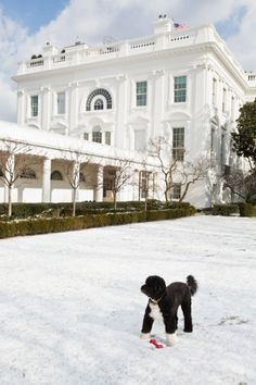 Bo, the Obama family dog, plays in the snow in the Rose Garden of the White House, Jan. 24 (Photo by Pete Souza)