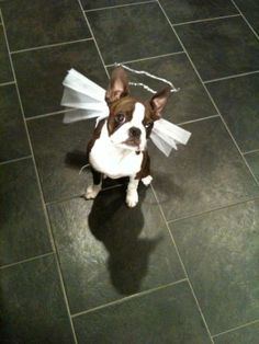 This gorgeous pic was posted in the Boston Terriers Rock community and features little Piglette. This was the caption: halloween costume! only lasted about a minute – but long enough to take a picture!