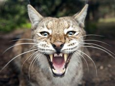 The reintroduction of lynx and other large predators to parts of Scotland could lead to a rise in the number of sheep being killed and eaten, carrying serious consequences for farmers, a visiting delegation from Norway has warned.