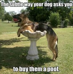 Funny German Shepherd meme for dog lovers, click here to check out this hilarious German Shepherd..  German Shepherd also known as the Alsatian is a popular dog breed  http://HarrietsDogGifts.com for funny German Shepherd gifts for dog. #germanshepherd