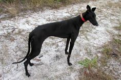 Mystique and misunderstanding of the black greyhound. That's just sad to know.  If I could I'd adopt them all!